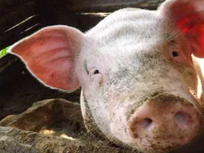 养猪品种 农村养猪四大性价比高的品种介绍