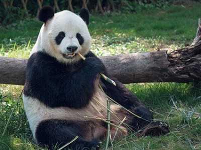 大熊猫为什么是国宝 为什么把熊猫定为国宝